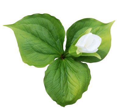 Large-flowered Trillium grandiflorum lily wild flower isolated on white