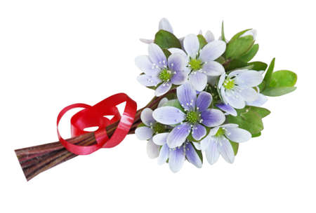 Blue and white Hepatica Nobilis bouquet with red ribbon photo