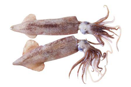 Two fresh squids isolated on white background Stock Photo