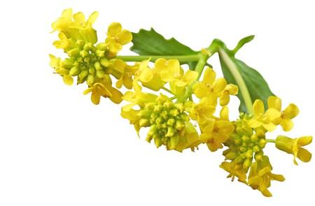 Gemeinsame Winter Cress (Yellow Rocket) Barbarea Vulgaris Senf (Brassicaceae) Wildblumen  Standard-Bild