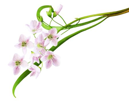 Cuckoo Flower , Ladys-smock,  Cardamine pratensis wild flower isolated on white Banco de Imagens