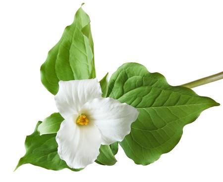 Trillium grandiflorum Flower isolated on white background Banco de Imagens