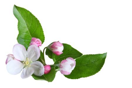 apple blossom: Fresh apple blossom isolated on white background