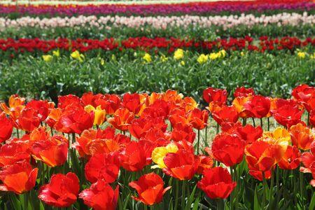 Tulip field on the farm in Holland Michigan Stock Photo - 6867706
