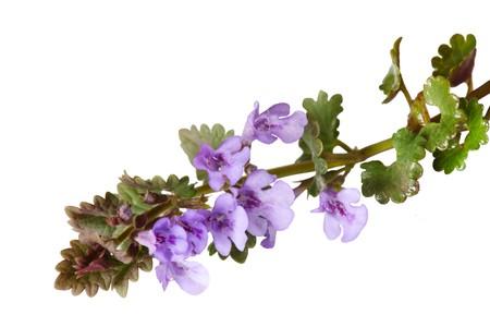 Ground ivy wild flower plant isolated on white