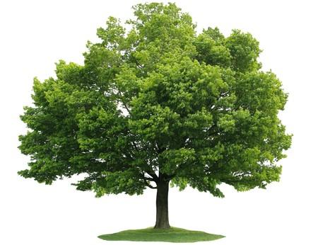 Pojedynczy klonowe drzewo samodzielnie na białym tle