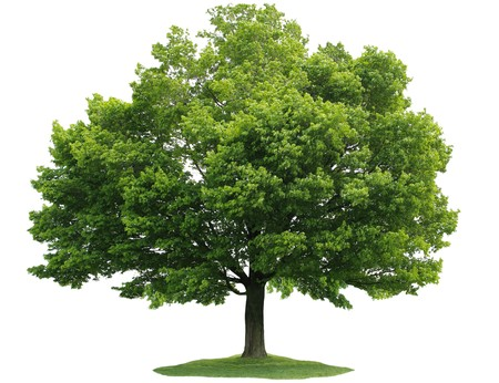 Single maple tree isolated on white background