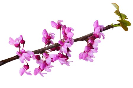 redbud: Branch of blooming redbud flower isolated on white