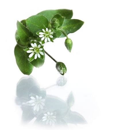 chickweed: Common Chickweed Stellaria media Five double petals wild flowers plant Stock Photo