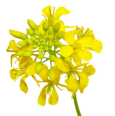 Close up of rapeseed flowers isolated on white Stock Photo
