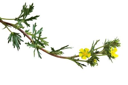 silvery: Yellow Silvery Cinquefoil, Potentilla argentea wild flower