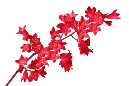 coral bell: Heuchera Sanguinea Coral bell flowers isolated on white Stock Photo
