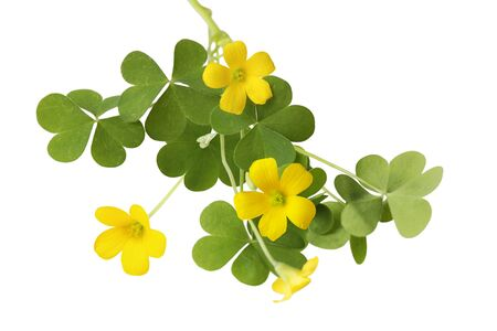 shamrock oxalis flower and leaves isolated on white Stock Photo - 7054627