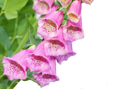 Pink foxglove flower isolated on white background
