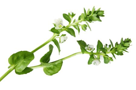 Water Speedwell Veronica anagallis-aquatica wildflower isolated on white