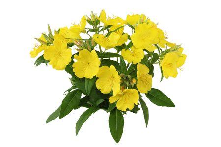 Yellow primrose oenothera frutcosa flower plant isolated on white Stok Fotoğraf
