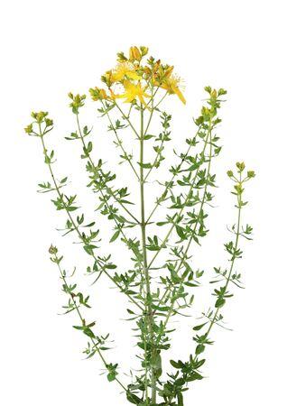 Common St. Johnswort Hypericum perforatum wild flowers