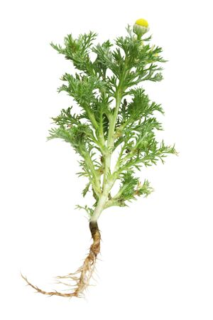 vulgare: Tansy Tanacetum vulgare wild flower plant isolated on white