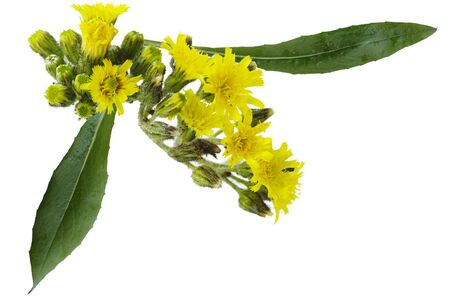 hawkweed: Pale Hawkweed wild flower isolated on white