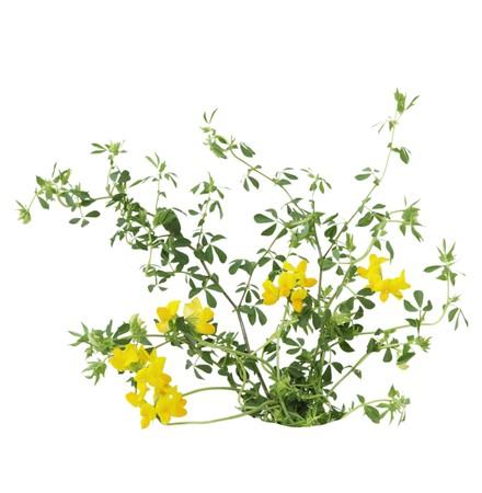 fabaceae: Birdfoot Trefoil Lotus corniculatus Pea (Fabaceae) flower