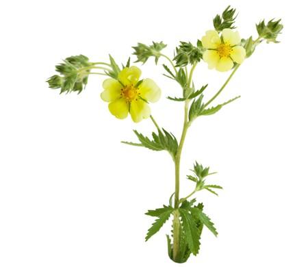 Common Cinquefoil Potentilla simplex wild flower plant