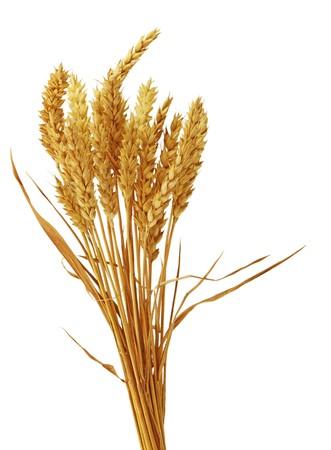 Bundle of bearless wheat isolated on white photo