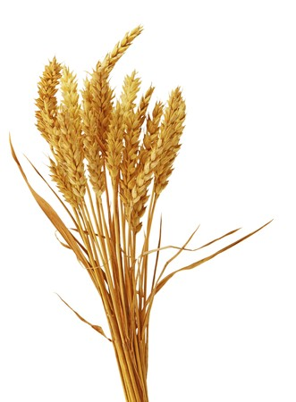 shavuot: Bundle of bearless wheat isolated on white