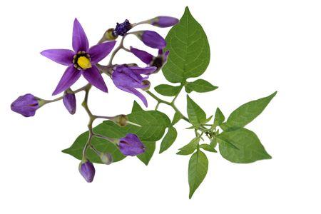 nightshade: Nightshade Solanum dulcamara flowers isolated on white