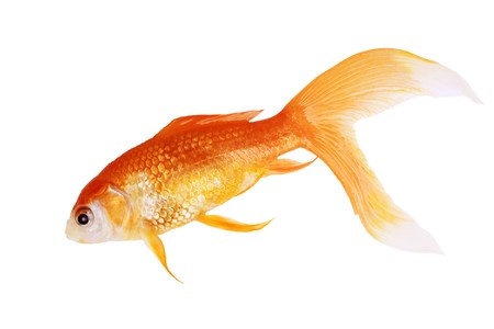 Dead gold fish isolated on white background Stock Photo - 7356311
