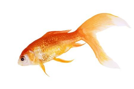 Dode gouden vis die op witte achtergrond wordt geïsoleerd