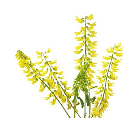 alba: Melilotus officinalis (Melilotus alba) Yellow Sweet Clover Sprigs Stock Photo