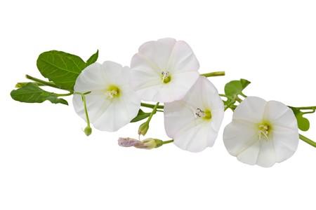 convolvulus: Hedge Bindweed Calystegia sepium (Convolvulus sepium) flower in white and pink color