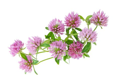 trifolium: Bundle of pink clover wild flowers isolated on white