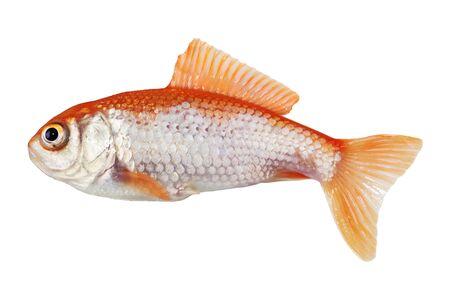 Single gold fish isolated on white bakcground Stock Photo - 7459217