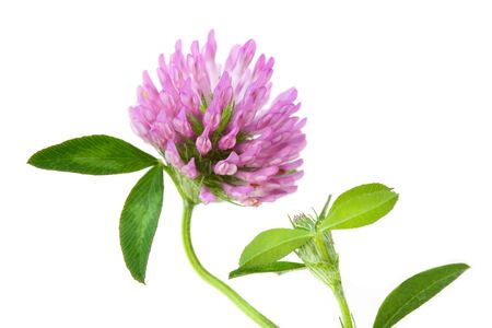 single pink clover wild flower isolated on white