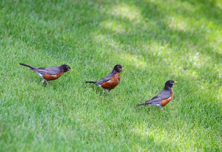 robins: Three American robins standing in a row on the yard