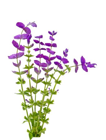 white salvia: Salvia Viridis wild flower plants isolated on white
