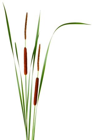 bullrush: Narrow-leaved Cattail Typha angustifolia with male and female flowers