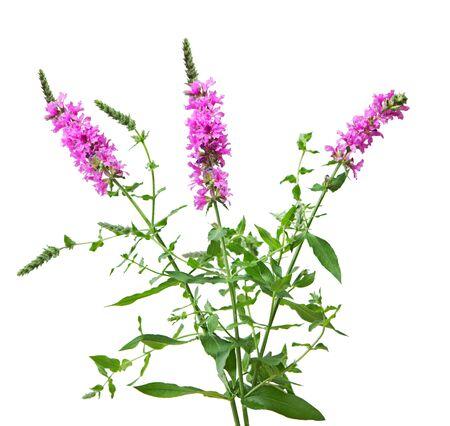 Purple Loosestrife  Lythrum salicaria wild flower plant