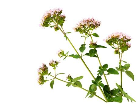 Wilde marjolein Origanum vulgare bloem planten geïsoleerd op wit Stockfoto
