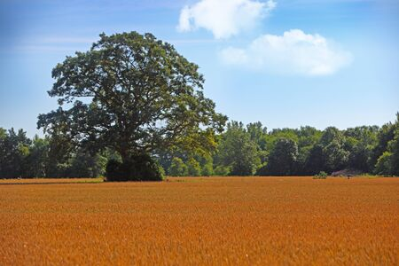 beardless: Ripen barley wheat on the field for natural background Stock Photo