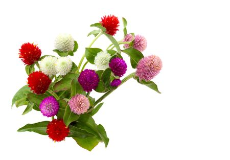 globosa: Gomphrena globosa flowers in different colors isolated over white