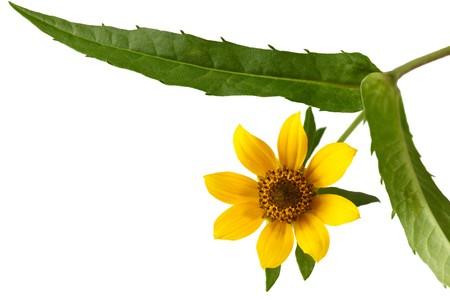 nodding: Nodding Bur-marigold, Nodding Beggartick, Bidens cernua wildflower isolated on white