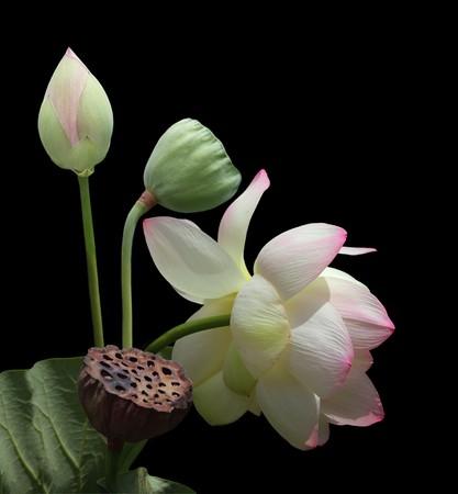 nucifera: Plantas de flor de Lotus Nelumbo nucifera aisladas sobre fondo negro