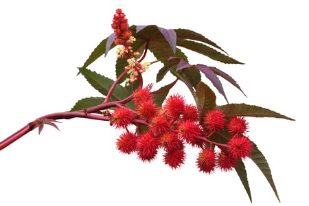purgative: Red castor oil plant isolated on white background Stock Photo