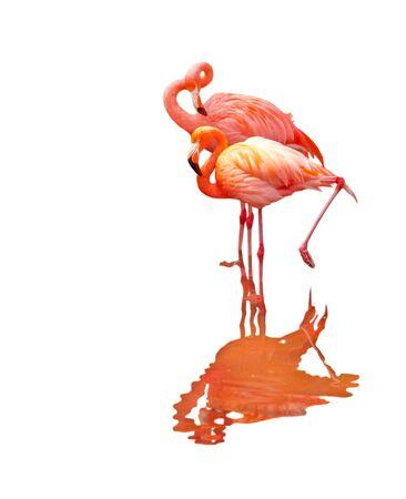 Two flamingo birds isolated on white background photo