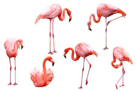 flamenco ave: Conjunto de aves de flamingo rojas aislados sobre fondo blanco