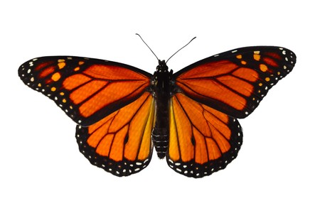 Single monarch butterfly isolated on white background