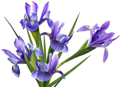Bundle blue iris flower isolated on white background