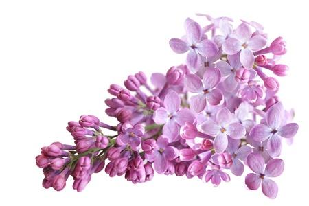 Fresh lilac flower isolated on white background Imagens